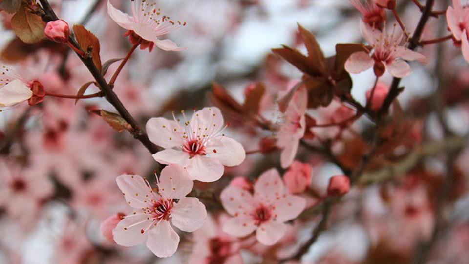 Fleur de sakura - du japon et des fleurs