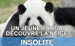 Vidéo panda découvre la neige