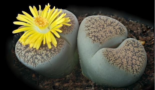 Véritables pierres vivantes : les lithops ! - Magazine M6Météo